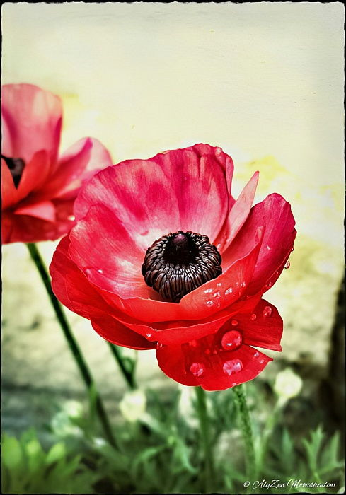 Red Anemone, 2013, (digital phone mediaography) - AlyZen Moonshadow
