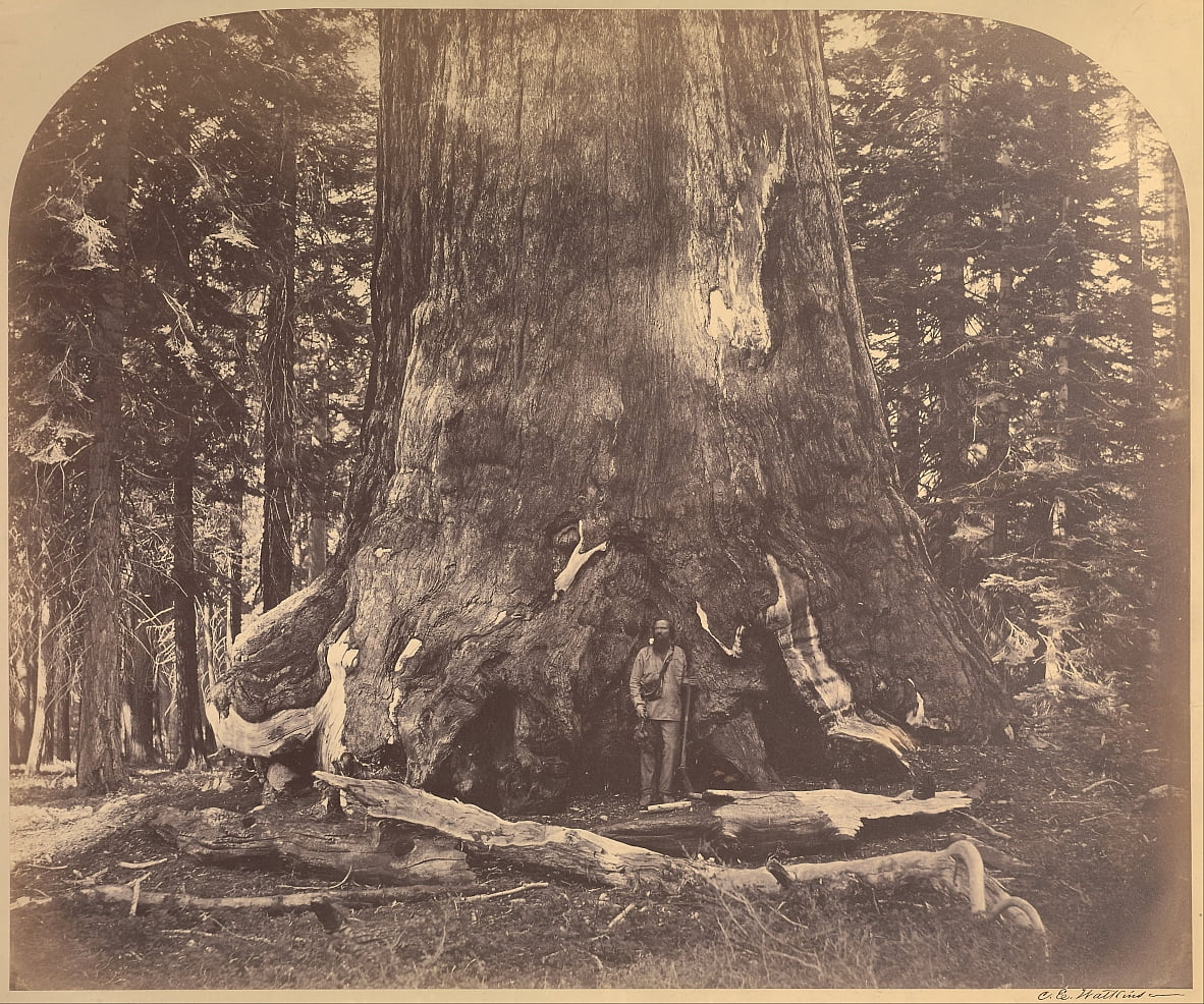 Section du Grizzly Giant, 33 pieds de diamètre, Mariposa Grove, Yosemite, n ° 111 - Carleton E. Watkins