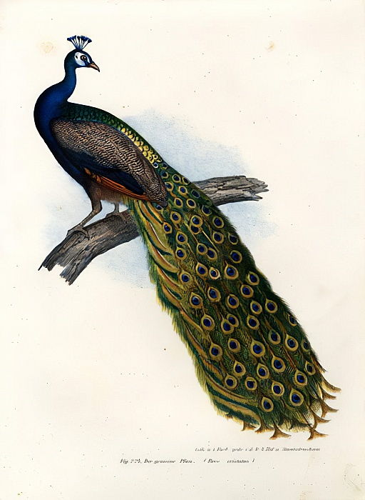 Peafowl bleu indien, 1864 - German School
