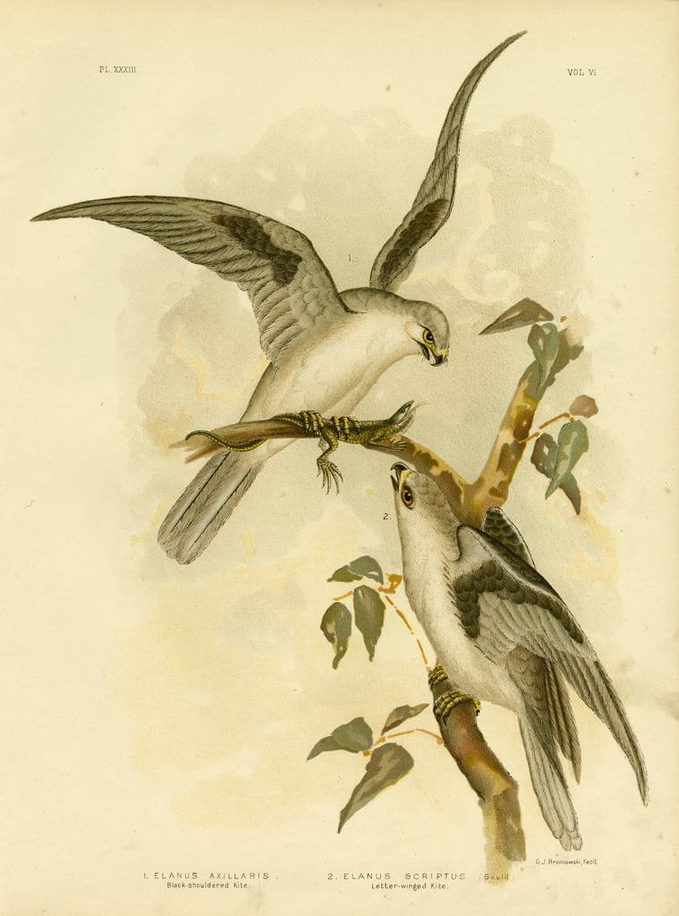 Black-Shouldered Kite, 1891 - Gracius Broinowski