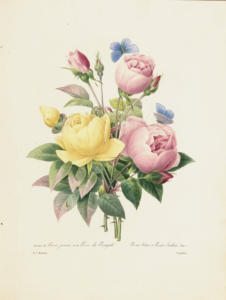Variety of Yellow Roses and Bengal Roses, engraved by Langlois, from Choix des Plus Belles Fleurs et des Plus Beaux Fruits, Vol. I, 1827-33  - Pierre Joseph Redouté