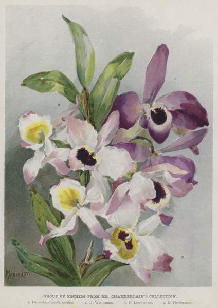 Groupe d orchidées de la collection de M. Chamberlain - Unbekannt Unbekannt